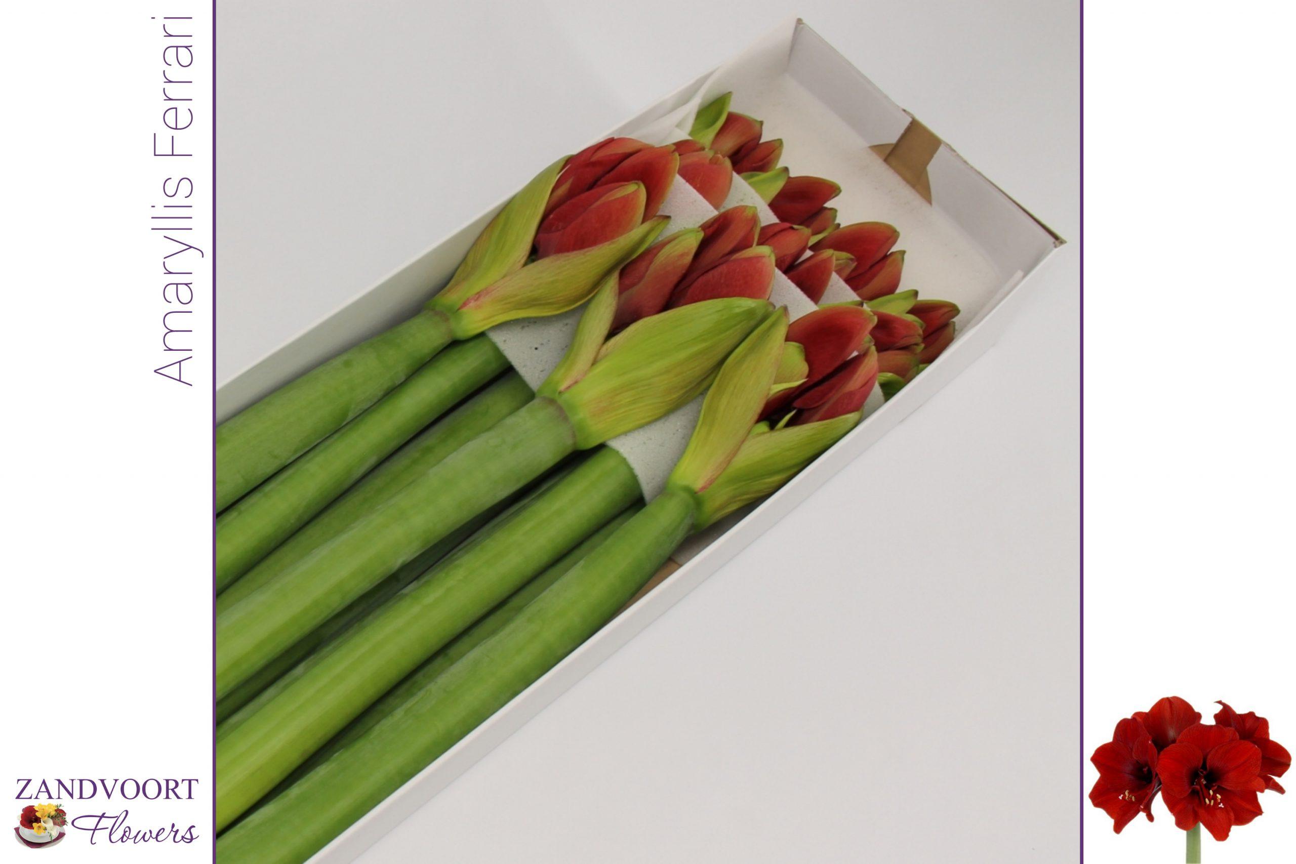 amaryllis ferrari x10